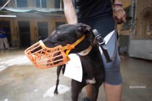 9 spritely-keroma adozione greyhound macao